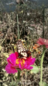 The dainty swallowtail butterflies seemed to love our zinnias! thelinkssite.com