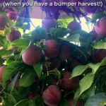 These are 4 simple methods of preserving plums that I use to get the most from my plum harvest! thelinkssite.com