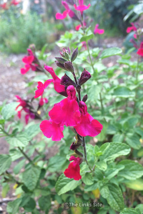 Close up of a cluster of bright pink salvia flowers.