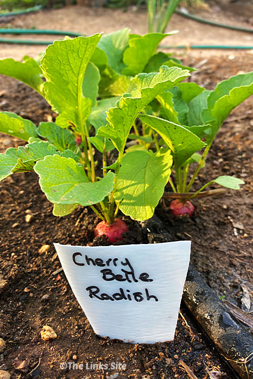 Two rows of radish plants growing in the soil with a drip irrigation hose running down the middle. A plastic plant marker labelled 'Cherry Belle Radish' is sticking out of the soil in front of the plants.